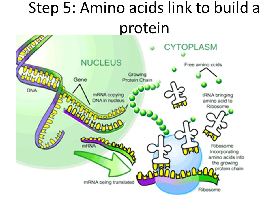 Step 5: Amino acids link to build a protein