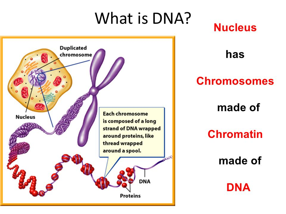 What is DNA Nucleus has Chromosomes made of Chromatin DNA