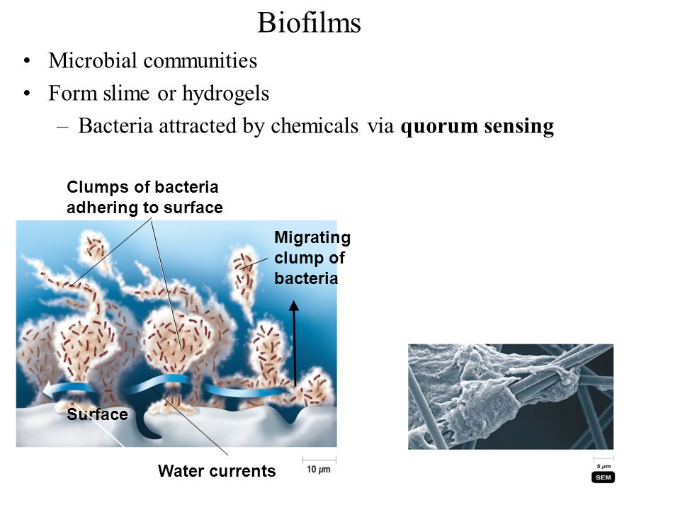 Biofilms Microbial communities Form slime or hydrogels