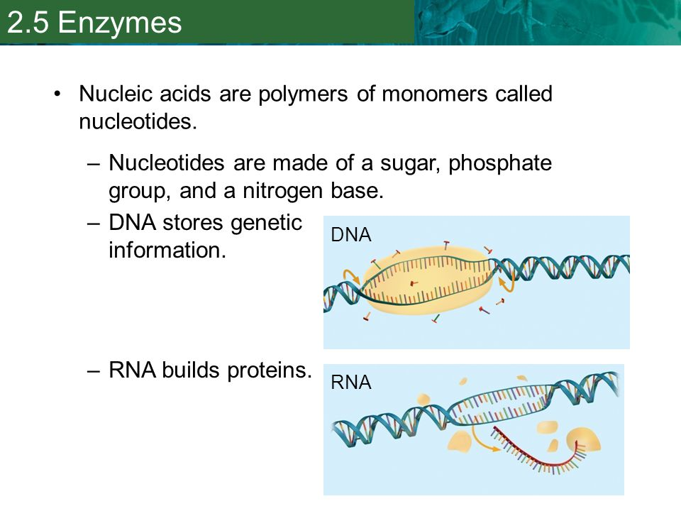 2.5 Enzymes Nucleic acids are polymers of monomers called nucleotides.