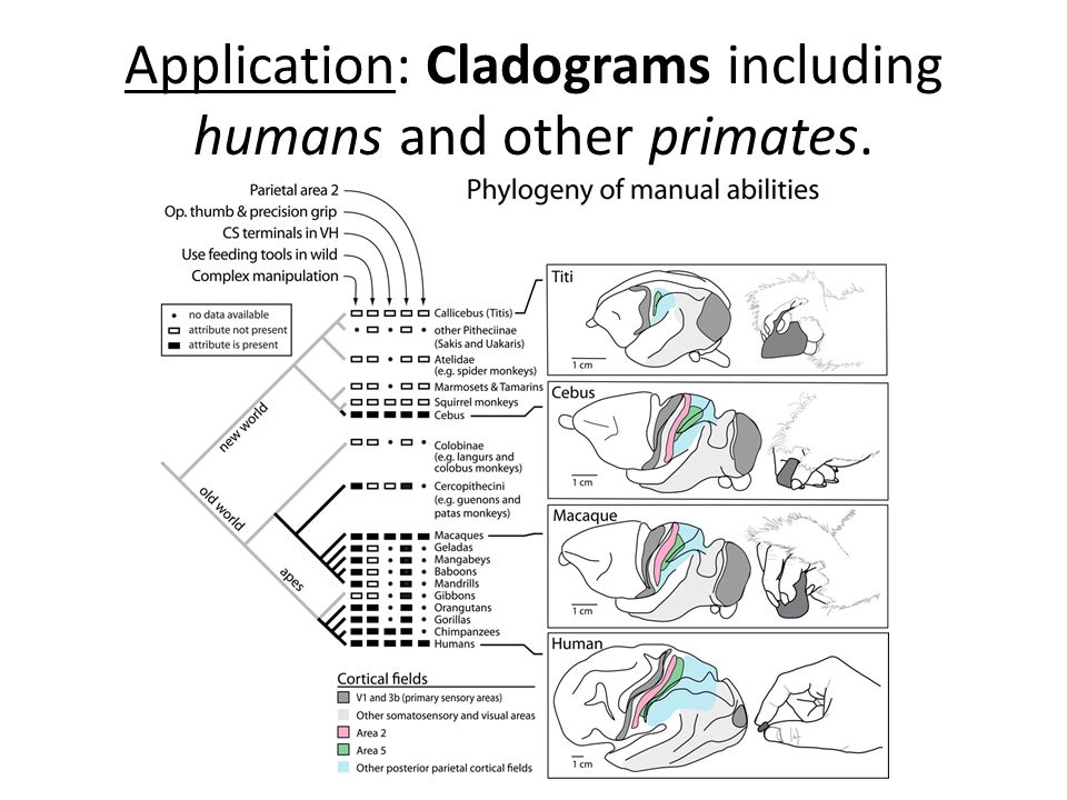 5.4 Cladistics The ancestry of groups of species can be ...