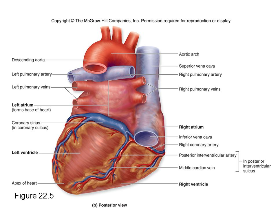 External Heart Anatomy - 2018 images & pictures - Heart Diagram ...