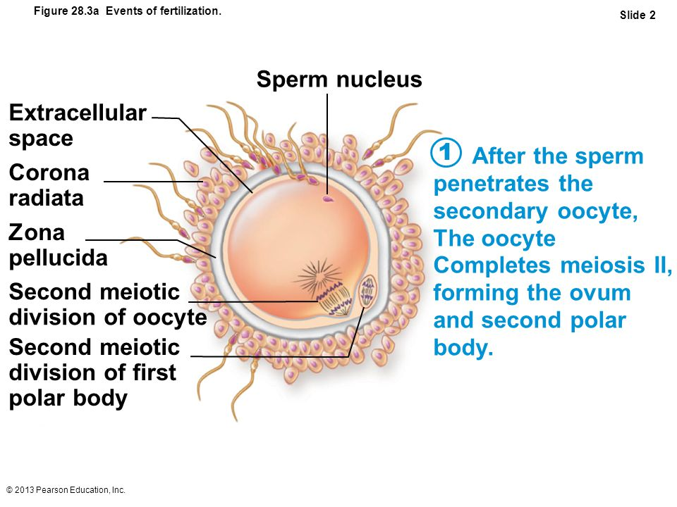 Not Sperm fusing to polar body agree