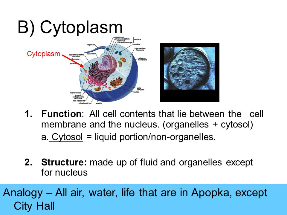 cell and cytoplasm 1 the cytoplasm basically, all animal cells can be divided into two major compartments, the nucleus and the cytoplasm the term protoplasm refers to the entire.