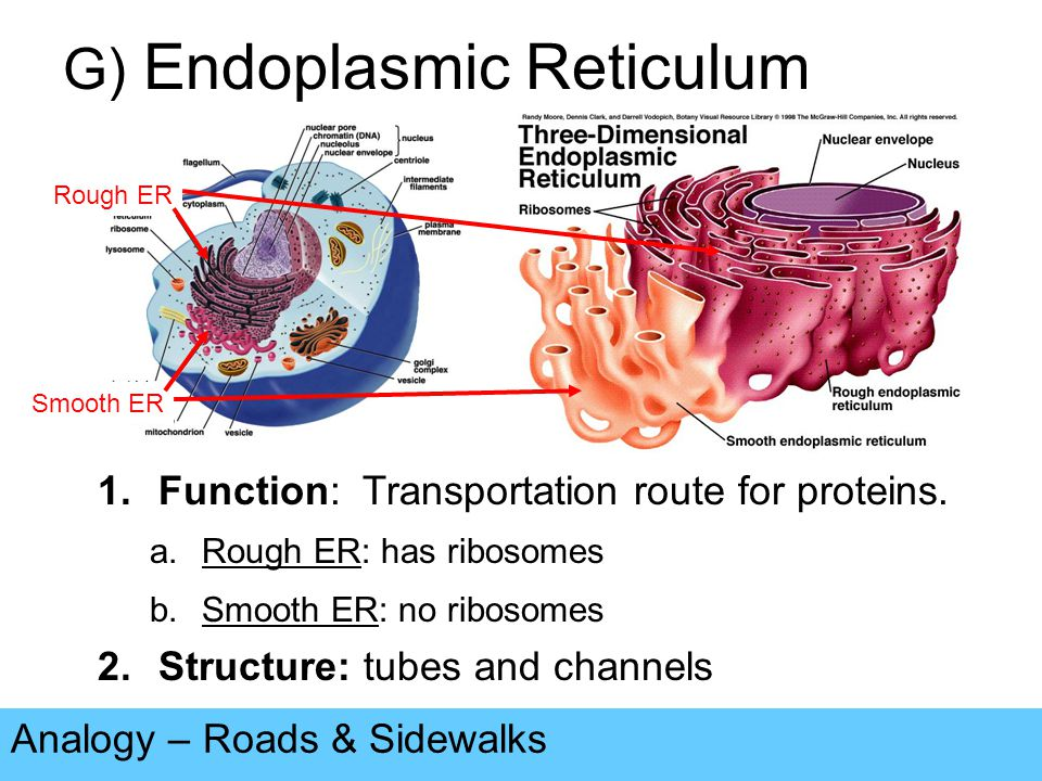 the structure of endoplasmic reticulum The golgi apparatus is a major collection and dispatch station of protein products received from the endoplasmic reticulum (er) proteins synthesized in the er are packaged into vesicles , which then fuse with the golgi apparatus.