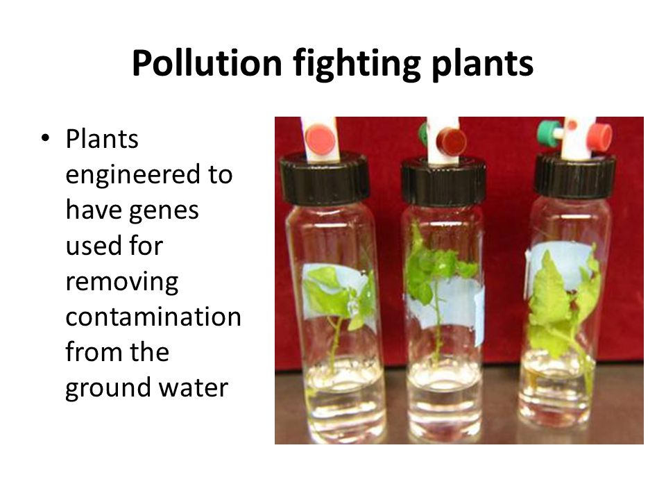 Advances in genetics p 110 ppt video online download for Pollution fighting plants