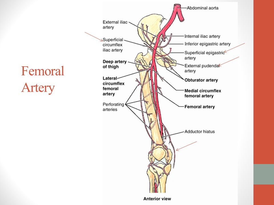 femoral vein to the lower lobe The temporal lobe is one of the four major lobes of the cerebral cortex in the brain of mammals the temporal lobe is located beneath the lateral fissure on both.