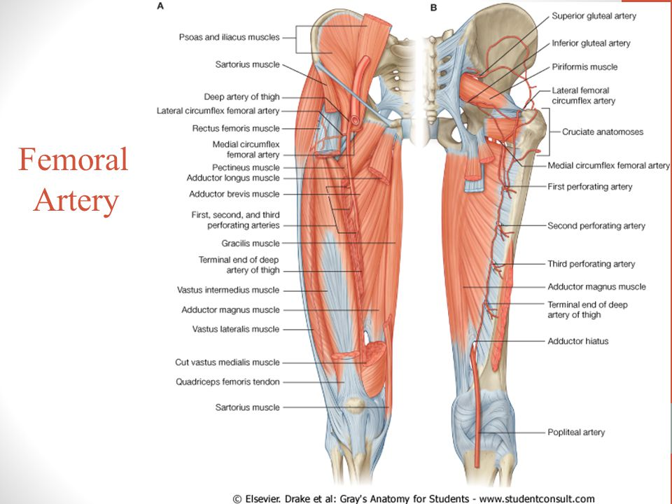 Blood Supply Of The Lower Limb Ppt Video Online Download