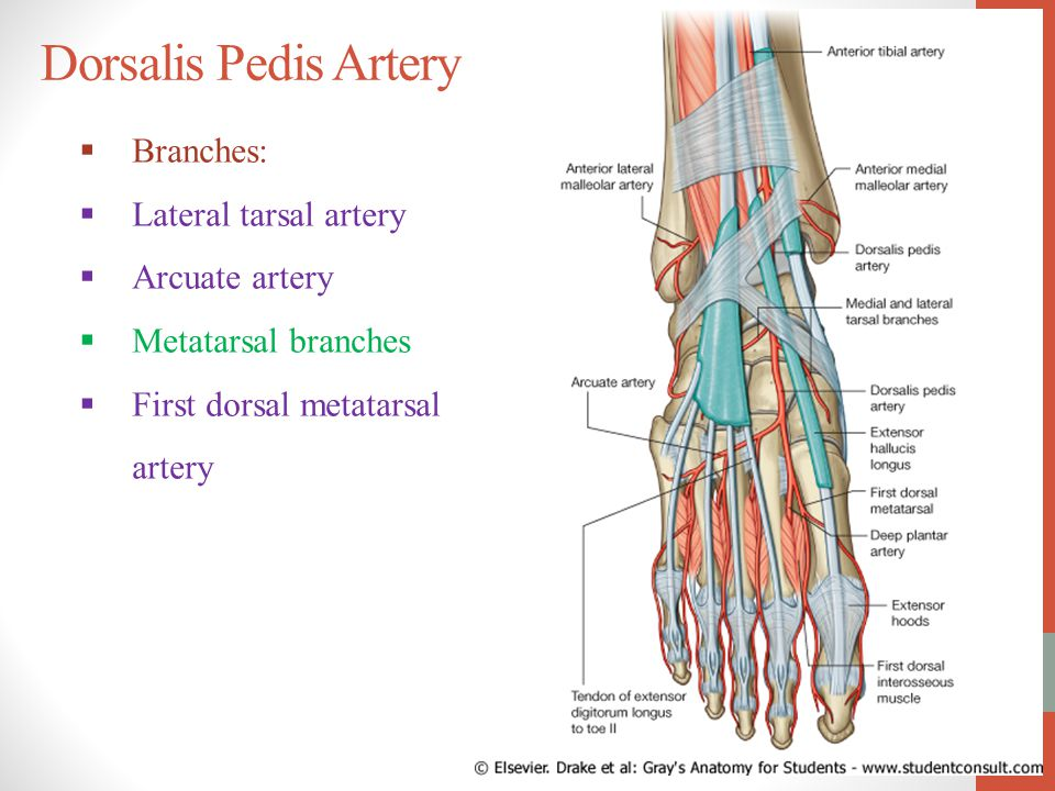 Dorsalis Pedis Pulse Blood Supply of...
