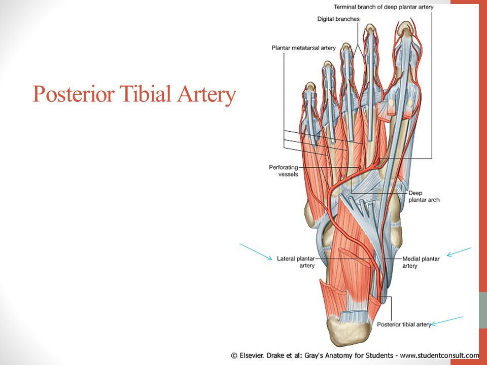 Posterior Tibial Artery Ankle