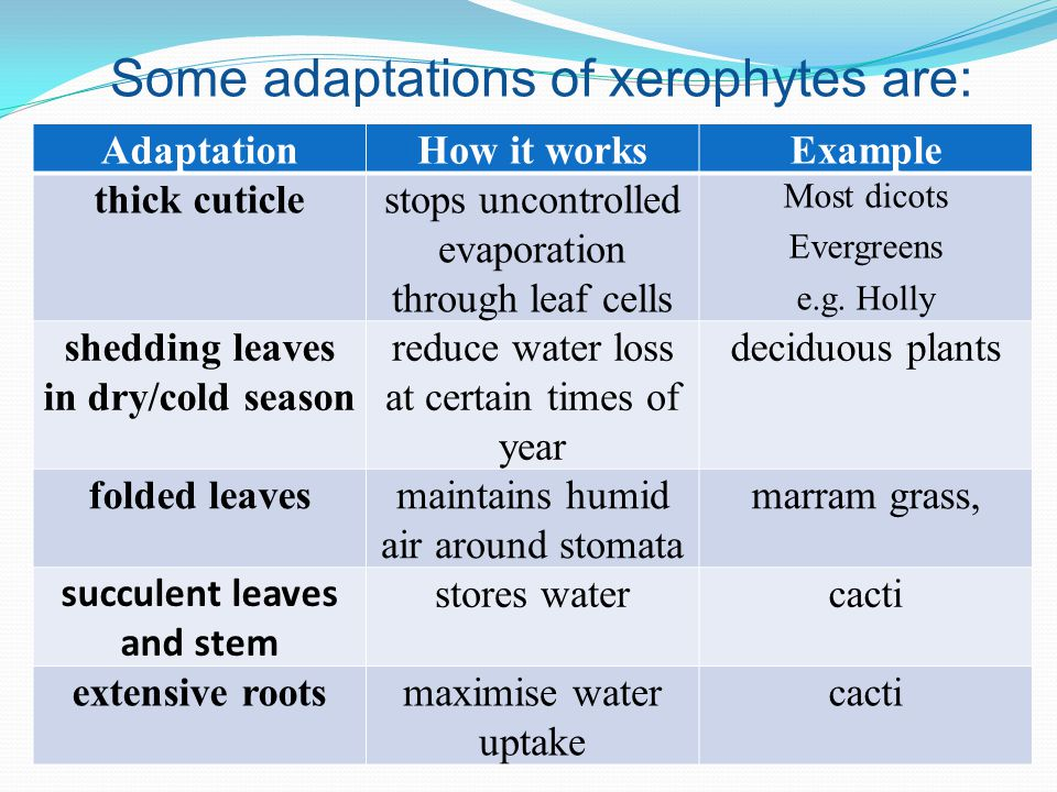 how xerophytes are adapted for water A xerophyte is a plant that can survive with little water it lives in the desert and stores water in its stem share to: what are the adaptations shown by xerophytes.