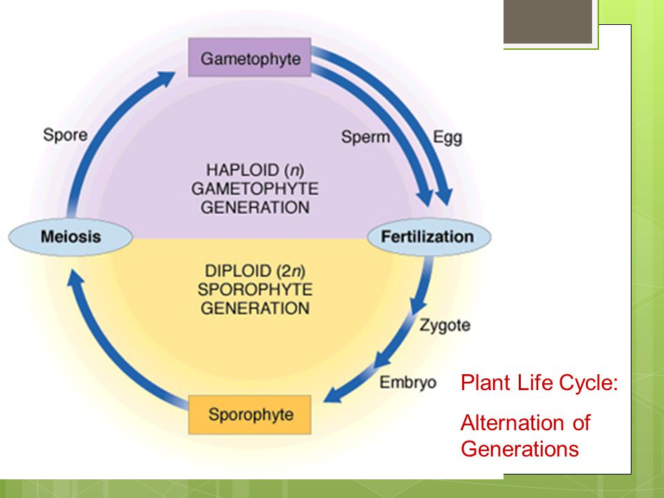 Plant Diversity and Life Cycles - ppt download