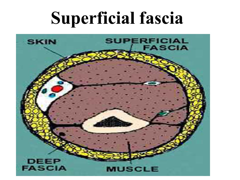 introduction of skin and fascia ppt download