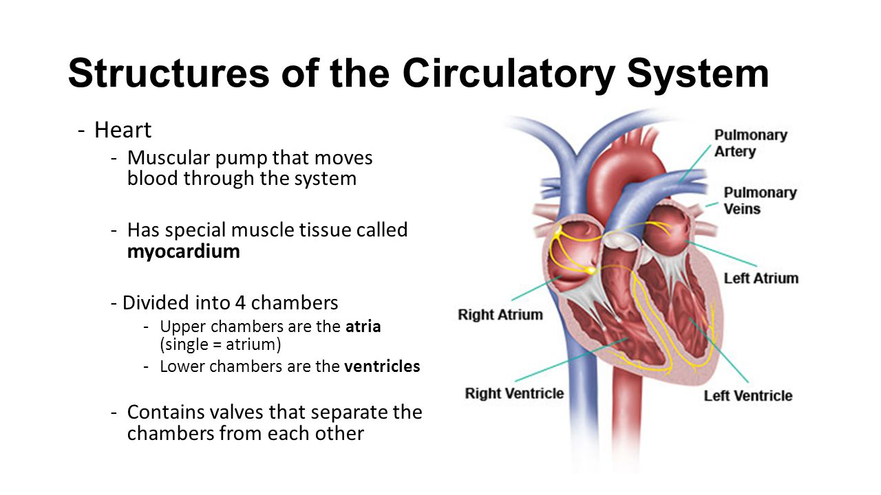 the structure of the cardiovascular or circulatory system Anatomy and physiology of the cardiovascular system wall-like structure that separates the left atria the circulatory system (a.