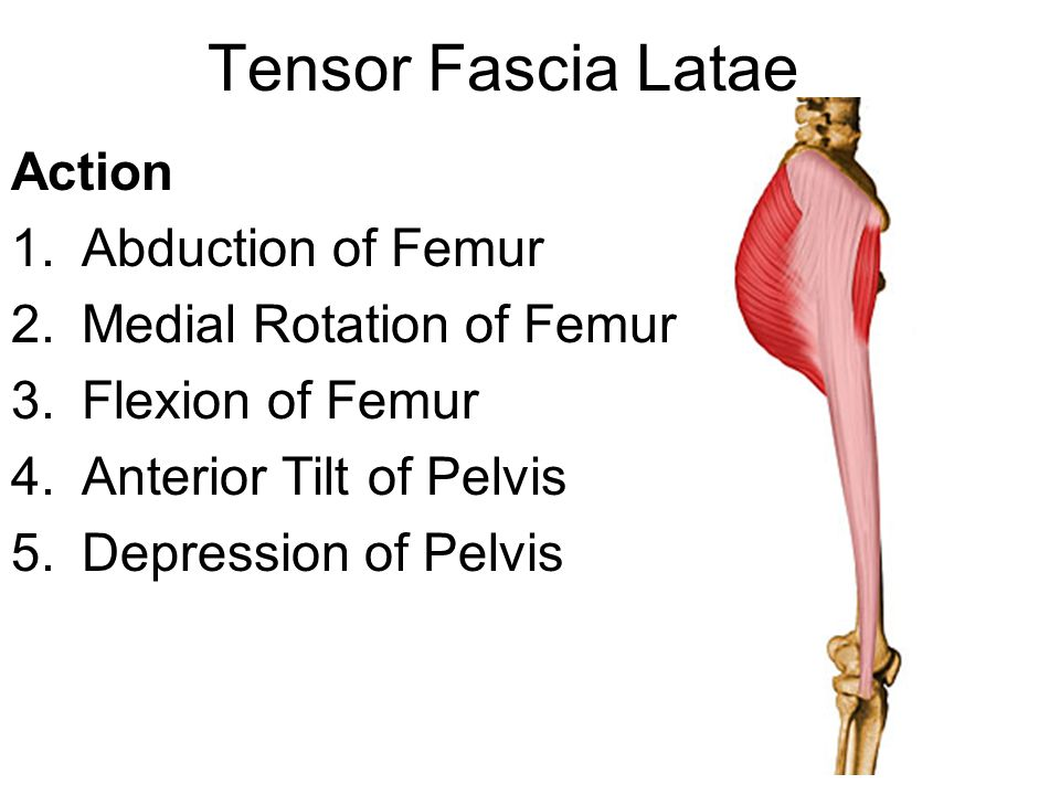 Tensor Fascia Latae Action Abduction of Femur Medial Rotation of Femur