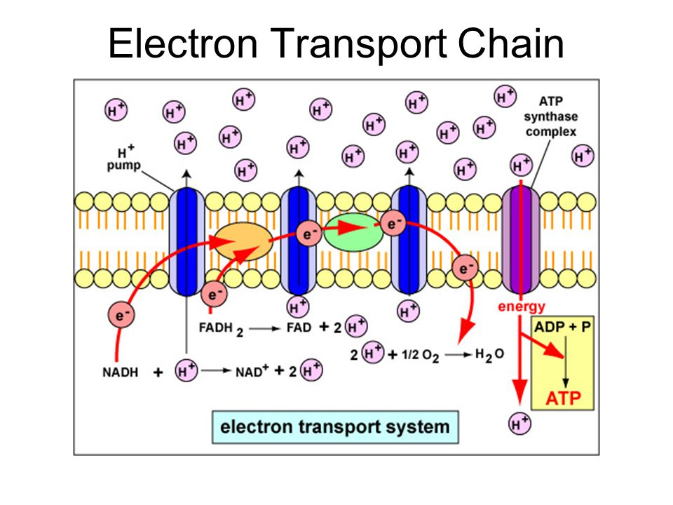 understanding how electron transfer works Marcus theory for electron transfer a short introduction minoia andrea  on the understanding and the control of the transfer of electrons in and between molecules.
