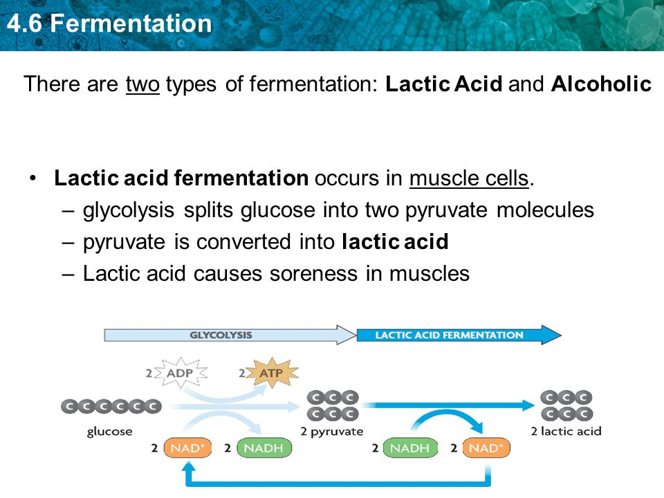 There are two types of fermentation: Lactic Acid and Alcoholic