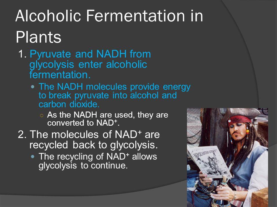 Alcoholic Fermentation in Plants