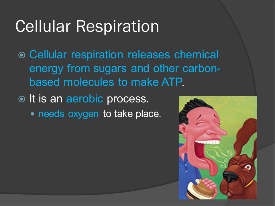 Cellular Respiration Cellular respiration releases chemical energy from sugars and other carbon-based molecules to make ATP.