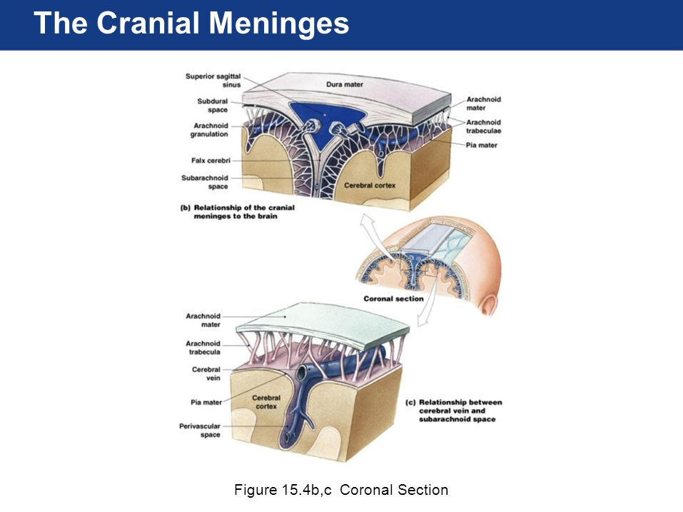 Human Anatomy Chapter 15 Chapter 15 Lecture The Nervous