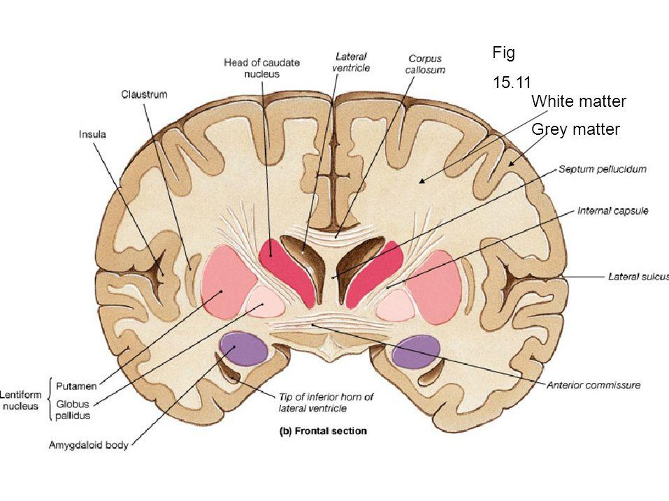Greys Anatomy Brain