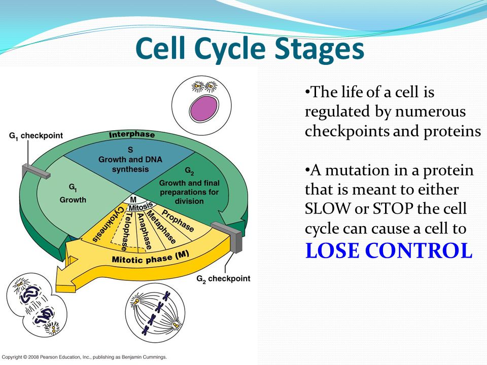 Cell Cycle Stages The life of a cell is regulated by numerous checkpoints and proteins.