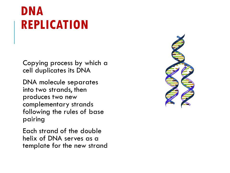 Dna molecule and replication worksheet key