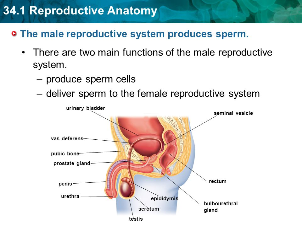 the female reproductive system produces ova