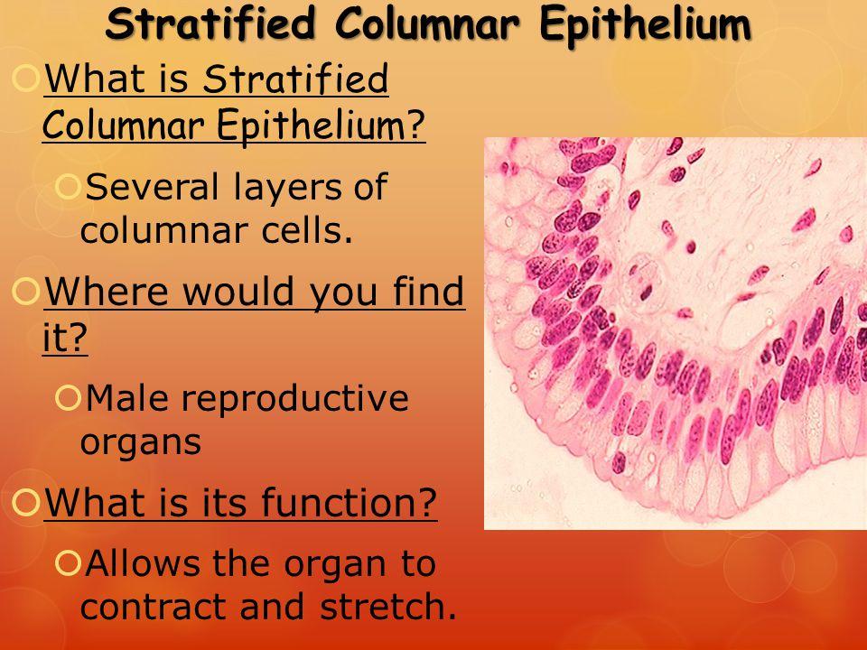 stratified columnar epithelium ppt video online download
