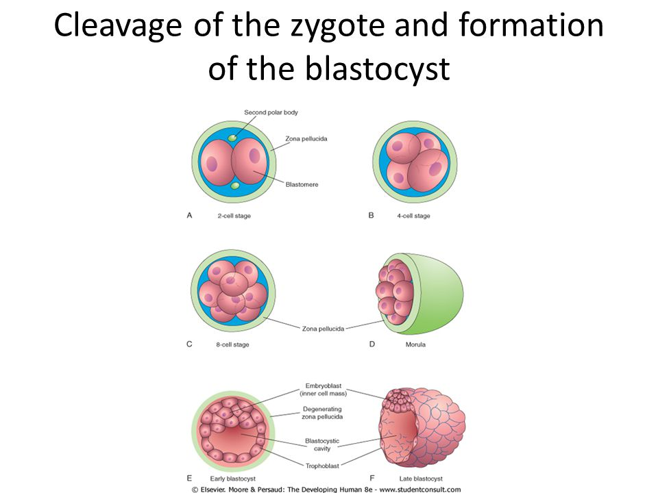 an overview of the development of the human zygote This topic continues in the next essay with a description of pre-natal human  development from a three-week old fetus to a newborn horizontal.
