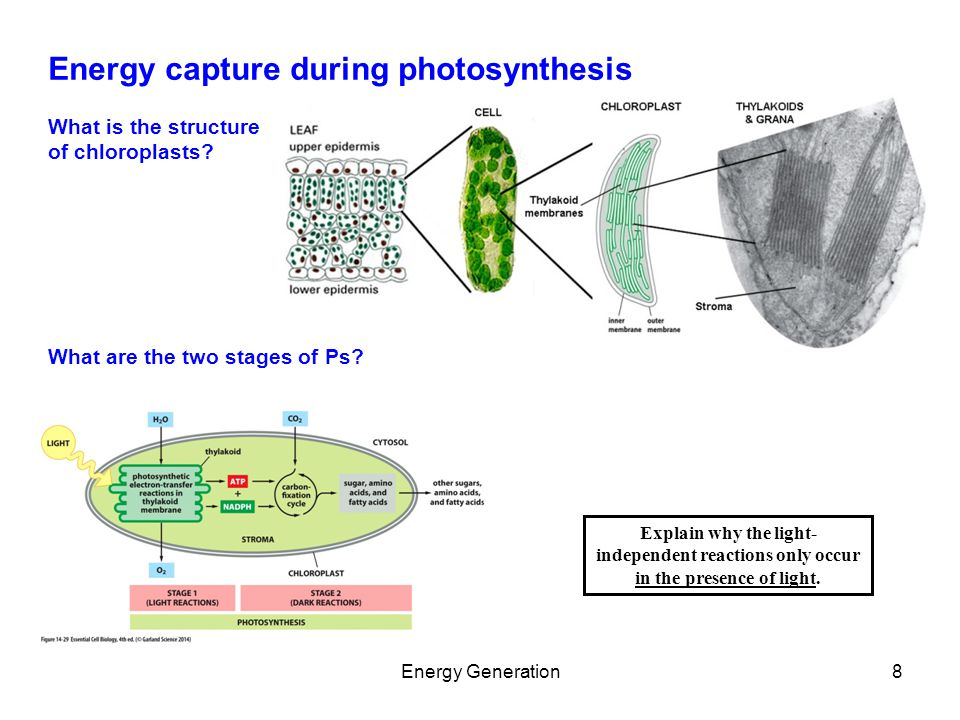 Chapter 14 Energy generation in Mitochondria and Chloroplasts ...