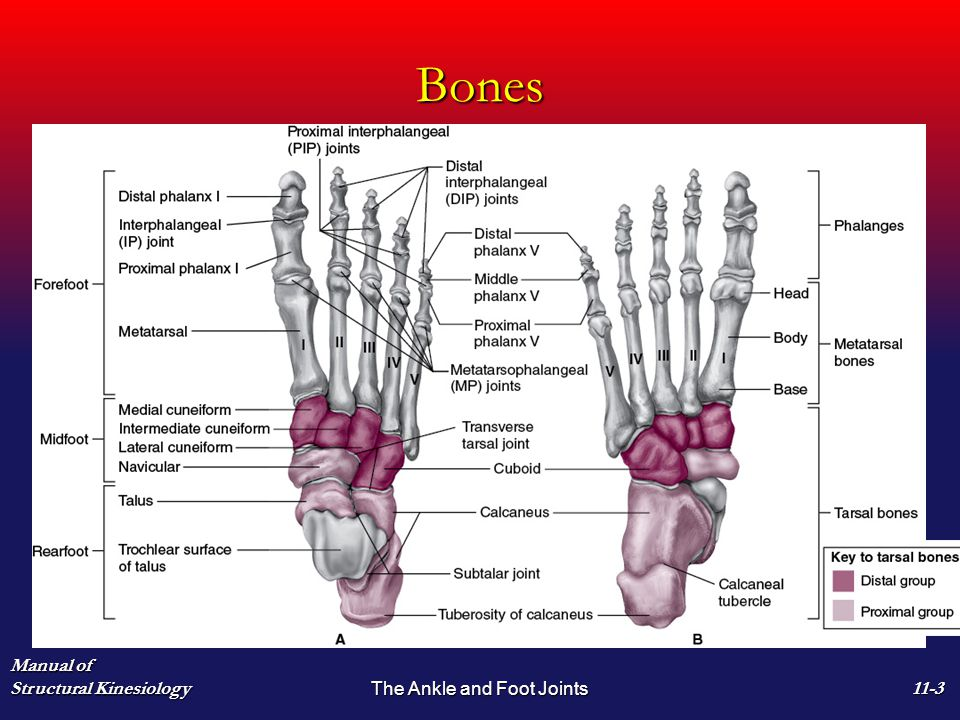 foot joints - Vatoz.atozdevelopment.co