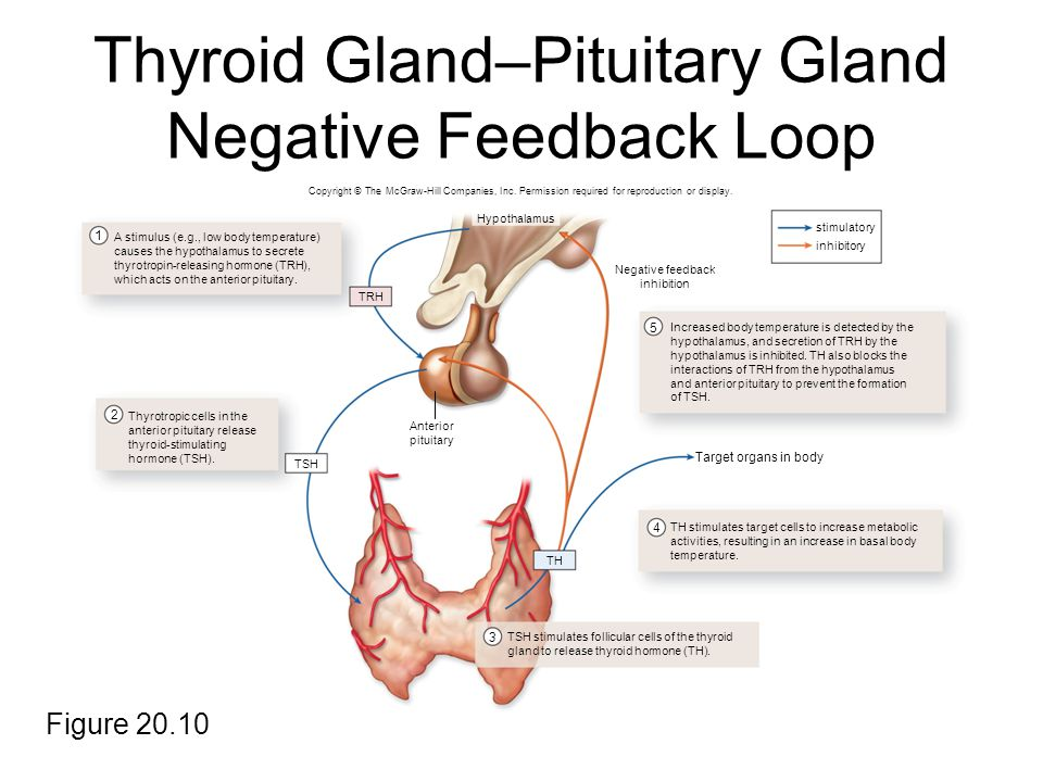 Lujoso Anatomy And Physiology Of Pituitary Gland Ppt Molde ...