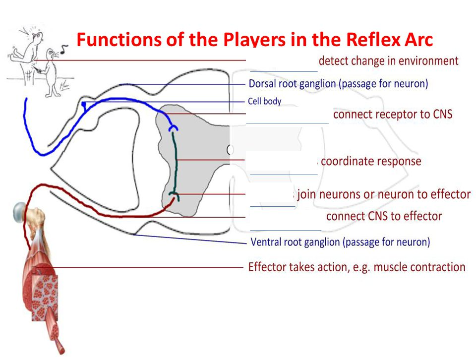 Option e neurobiology and behavior ppt video online download 7 functions of the players in the reflex arc ccuart Image collections