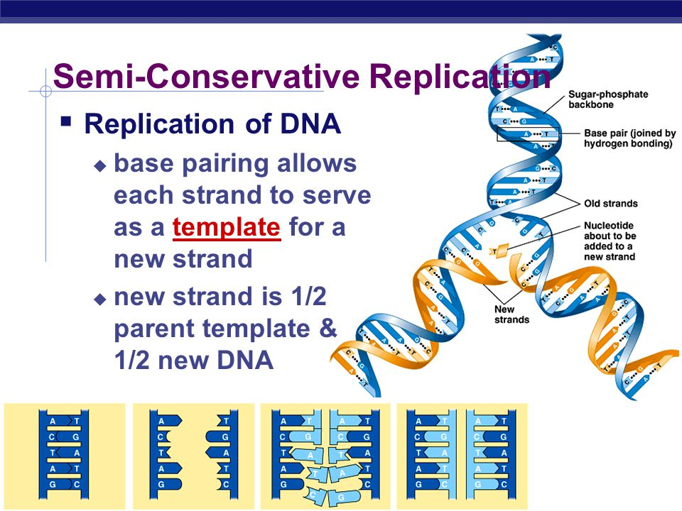what is a template strand - deoxyribonucleic acid ppt download