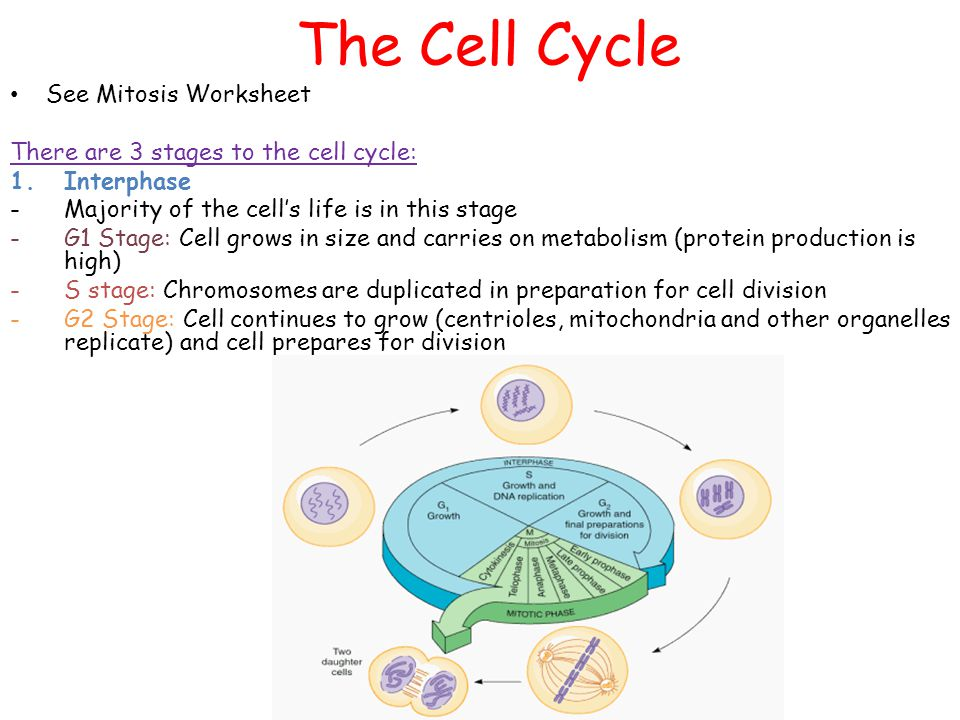Cellular Transport and The Cell Cycle ppt download – Cell Division Worksheet