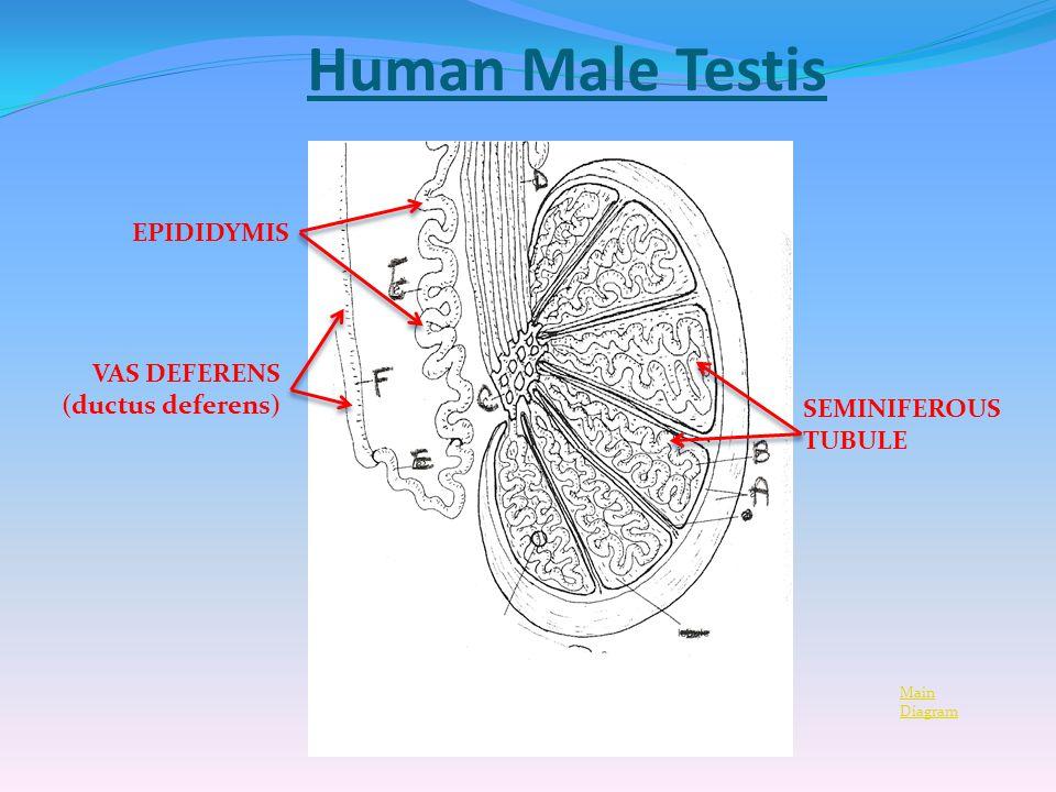 Vas Deferens Diagram The Male Reprod...