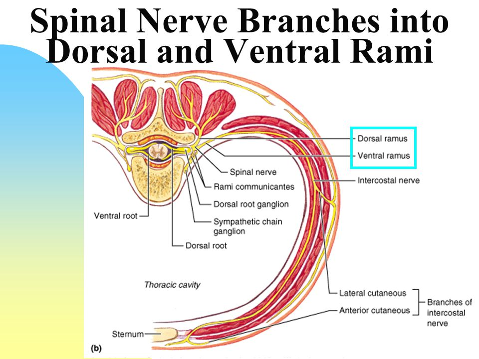 Anatomy of spinal nerves