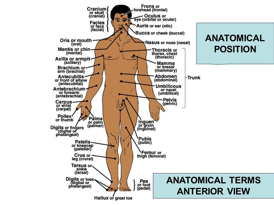 Manual Region Anatomy - Wiring Library •
