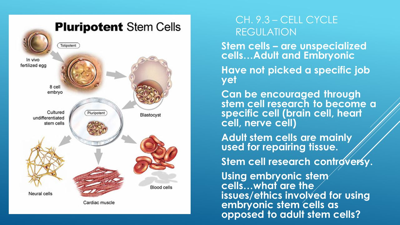 """stem cell opposition Ethics of stem cell research would likely maintain their opposition in the research pathway in culture by pluripotent stem cells,"""" cell."""