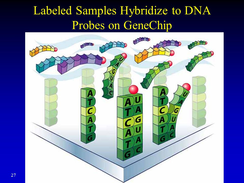 Labeled Samples Hybridize to DNA Probes on GeneChip