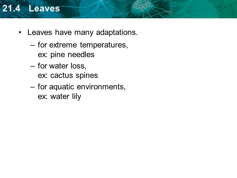 Leaves have many adaptations.