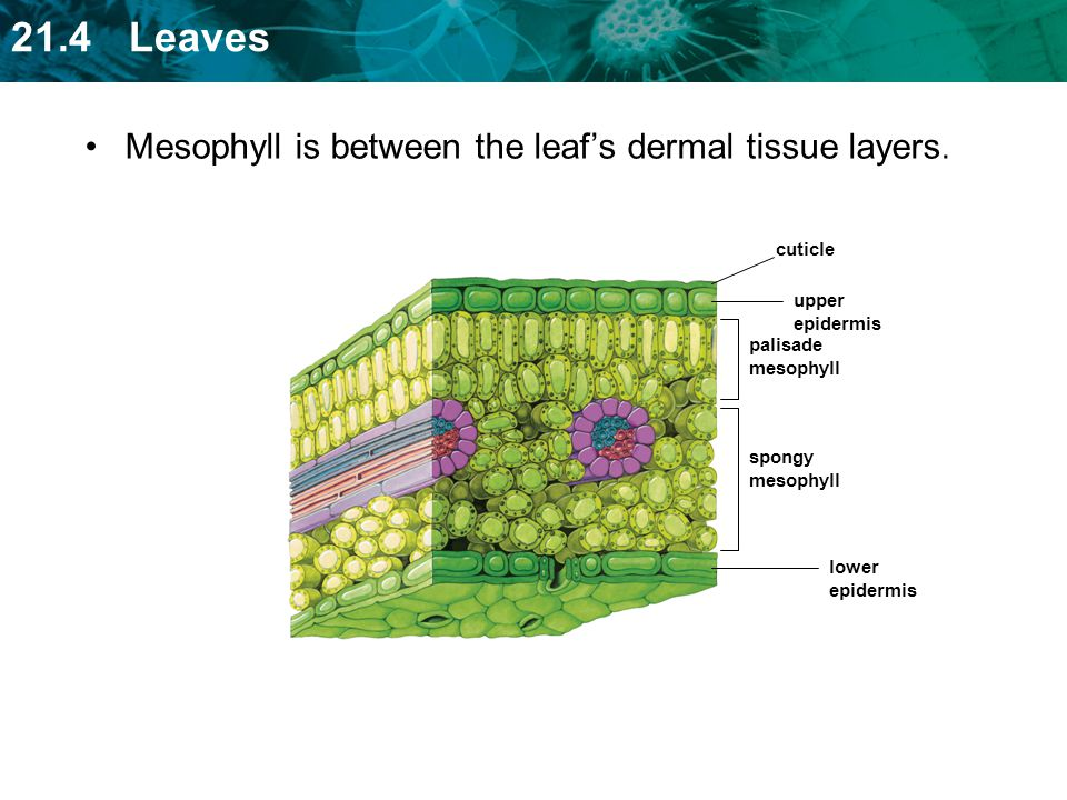 Mesophyll is between the leaf's dermal tissue layers.