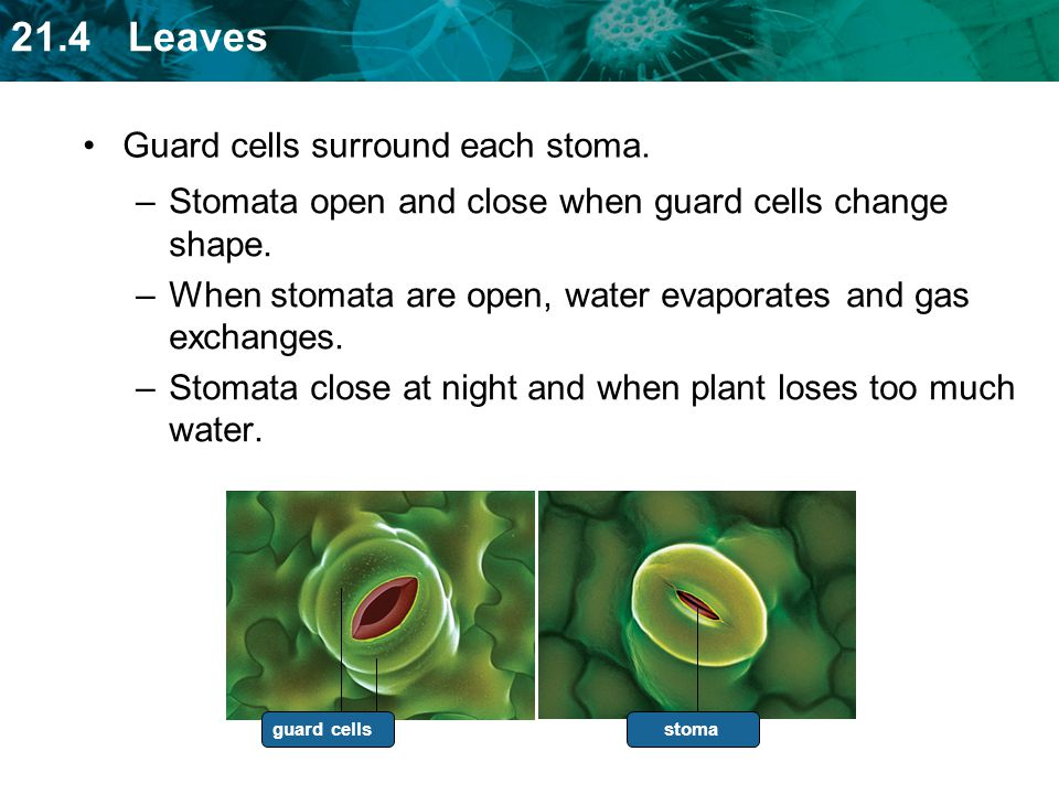 Guard cells surround each stoma.