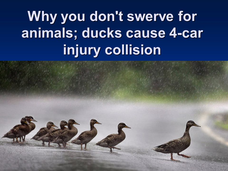 Why you don t swerve for animals; ducks cause 4-car injury collision