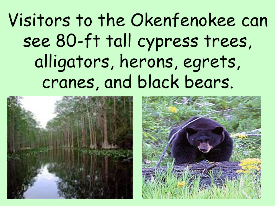Visitors to the Okenfenokee can see 80-ft tall cypress trees, alligators, herons, egrets, cranes, and black bears.