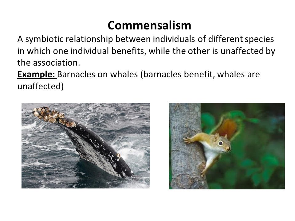relationship between whale and barnacles commensalism