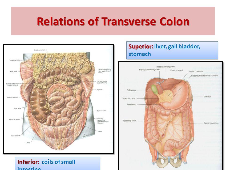 Transverse Colon Anatomy 6231188 Follow4morefo