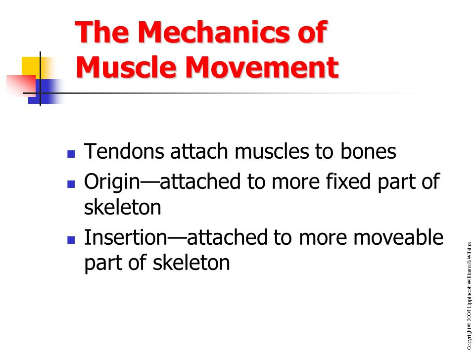 Chapter 7 The Muscular System. - ppt video online download