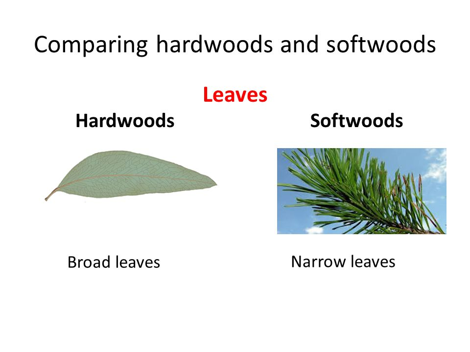 Hardwood And Softwood Trees ~ Hardwoods and softwoods ppt video online download